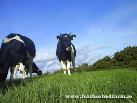 Featherbed Farm Cows